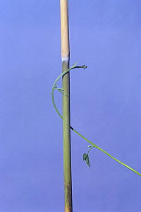 Morning glory {Ipomoea nil} tendril of vine growing around vertical stem, 3hr later, sequence 4/7, Japan  -  Nature Production
