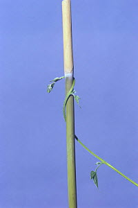 Morning glory {Ipomoea nil} tendril of vine growing around vertical stem, 7hrs later, sequence 6/7, Japan  -  Nature Production