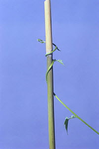 Morning glory {Ipomoea nil} tendril of vine growing around vertical stem, 18hrs later, sequence 7/7, Japan  -  Nature Production