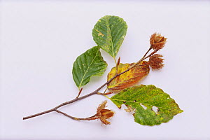 Japanese Beech {Fagus crenata} seeds and leaves, Japan  -  Nature Production