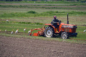 Cattle Egrets {Bubulcus ibis} gathering behind tractor to feed on insects, Tsushima, Nagasaki, Japan - Nature Production
