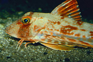 """Gurnard {Chelidonichthys spinosus} foraging with its """"hands"""" (transformed pectoral fins) Japan - Nature Production"""