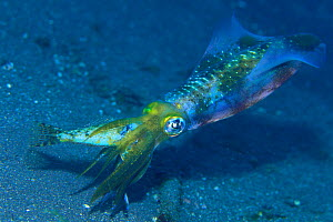 Bigfin Reef Squid {Sepioteuthis lessoniana} preying upon Cottid Fish {Pseudoblennius percoides} Japan  -  Nature Production