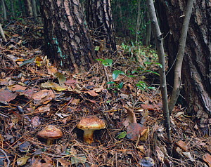 Japanese Pine Mushrooms / Matsutake {Tricholoma matsutake} on pine forest floor, Japan  -  Nature Production