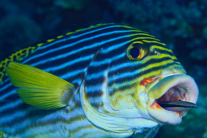 Blue-Streak / Striped Cleaner Wrasse {Labroides dimidiatus} cleaning in the mouth of Oriental Sweetlips {Plectorhinchus orientalis} Maldives  -  Nature Production