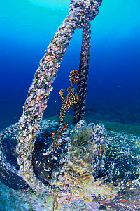 Ornate / Harlequin Ghost pipefish {Solenostomus paradoxus} near rope, Indo pacific  -  Nature Production