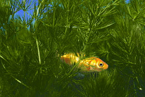 Goldfish {Carassius auratus} sleeping in watergrass, captive, Japan - Nature Production