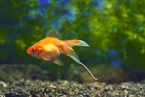 Goldfish {Carassius auratus} with thread of excrement, captive, Japan - Nature Production