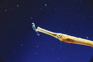 Seaweed Pipefish {Syngnathus schlegeli} about to swallow a juvenile fish, captive, Japan - Nature Production