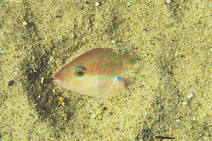 Wrasse {Halichoeres tenuispinis} sleeping half hidden in sand, cative, Japan - Nature Production