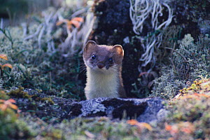 Least Weasel {Mustela nivalis} poking its head from behind a rock, Japan  -  Nature Production