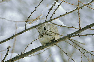 Siberian / Russian Flying Squirrel {Pteromys volans}feeding on winter buds in tree, Hokkaido, Japan - Nature Production