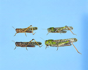 Migratory Locust {Locusta migratoria} gregarious phase (brownish, left) solitary phase (green, right), male on top and female on bottom, Japan  -  Nature Production