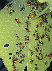 Swarm of Cotton Stainer bugs {Dysdercus philippinus} on leaf of Parasol Leaf Tree, Okinawa, Japan - Nature Production