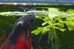 Siamese Fighting Fish {Betta splendens} making a foam nest of bubbles to attract female to lay eggs in, captive  -  Nature Production