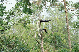Sulawesi red nosed / knobbed hornbill {Aceros cassidix} pair flying, Sulawesi, Indonesia - Nature Production