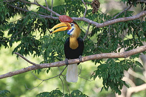 Sulawesi red nosed / knobbed hornbill {Aceros cassidix} male with fruit in beak,  Sulawesi, Indonesia - Nature Production
