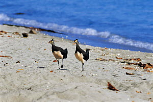 Maleo fowl {Macrocephalon maleo} pair on beach, Sulawesi, Indonesia  -  Nature Production