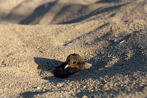 Maleo fowl {Macrocephalon maleo} chick emerging from nest in sand, Sulawesi, Indonesia  -  Nature Production