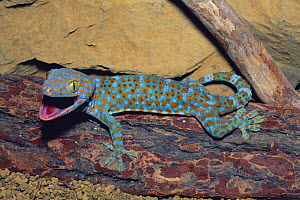 Tokay Gecko {Gekko gecko} captive - Nature Production