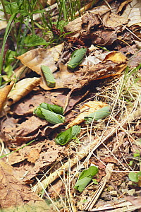 Leaf rolling weevil {Apoderus jekelii} in leaf cradles fallen on the ground, Asia - Nature Production