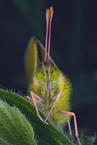 Eastern Pale Clouded Yellow butterfly {Colias erate poliographus} face, close-up, Asia  -  Nature Production