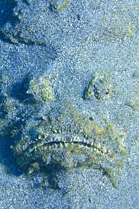 Reef Stonefish {Synanceia verrucosa} face hidden in the sand, Japan - Nature Production