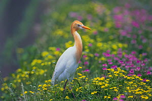 Cattle Egret {Bubulcus ibis} standing in a rice field (summer plumage) Kochi, Japan - Nature Production