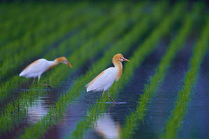Cattle Egrets {Bubulcus ibis} foraging in a rice field in spring, Japan - Nature Production