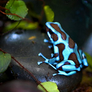 Blue and black poison dart frog / Green poison arrow frog {Dendrobates auratus} captive occurs Central and South America  -  Michael D. Kern