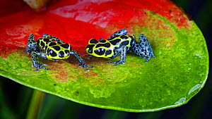 Two Poison dart frogs {Dendrobates imitator} perching on leaf, captive, Peru - Michael D. Kern
