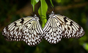 Two Tree nymphs / Paper butterflies {Idea leuconoe} captive, occurs SE Asia - Michael D. Kern