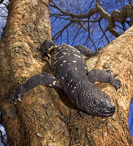 Guatamelan Beaded Lizard {Heloderma horridum charlesbogerti} portrait in tree, Guatemala  -  Michael D. Kern / Zoo Atlanta