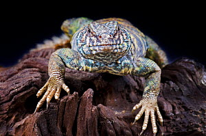 Ornate uromastyx / agama {Uromastyx ocellata ornata} portraits, captive, occurs northern Africa - Michael D. Kern