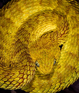 Variable / African bush viper snake {Atheris squamiger} captive, occurs equatorial Africa  -  Michael D. Kern