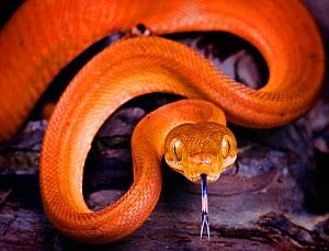 Amazon tree boa snake {Corallus hortulanus} portrait with tongue extended, captive, South America  -  Michael  D. Kern