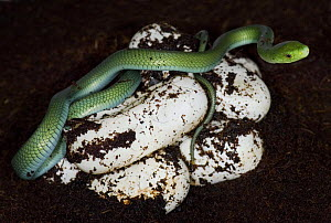 Eastern green mamba snake {Dendroaspis angusticeps} captive, Eastern Africa  -  Michael D. Kern