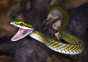 Amazon parrot snake {Leptophis ahaetulla} with mouth open, captive, occurs South America, Trinidad and Tobago  -  Michael D. Kern