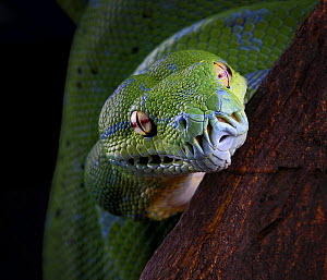 Green tree python snake {Morelia / Chondopython viridis} portrait, captive, occurs Papua New Guinea and Indonesia  -  Michael D. Kern