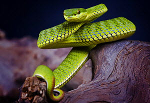 Stejnegeri bamboo viper snake {Trimeresurus stejnegerii} portrait, captive, occurs China, Vietnam and Taiwan - Michael D. Kern