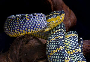 Waglers Temple viper snake {Tropidolaemus wagleri} captive, occurs Philippines, Malaysia and Indonesia - Michael D. Kern