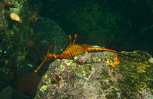 Weedy seadragon {Phyllopteryx taeniolatus} male carrying eggs, Jervis Bay, Australia  -  Brent Hedges