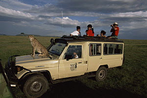 Cheetah 'Queenie' sitting on safari vehicle during filming of BBC NHU 'Big Cat Diary', Masai Mara GR, Kenya  -  Marguerite Smits Van Oyen