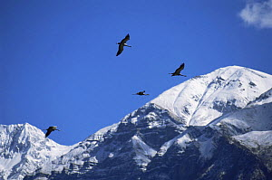 Demoiselle cranes {Anthropoides virgo} on migration flying over the Himalayas, Nepal, c 2004  -  Barrie Britton
