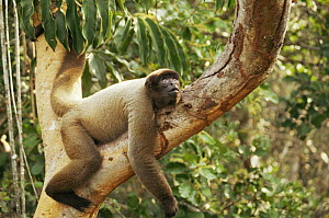 Woolly spider monkey {Brachyteles arachnoides} resting in rainforest tree, Amazonia, Brazil  -  Nick Gordon
