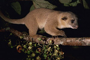 Kinkajou (Potos flavus) on fruiting Bellucia tree at night, eating and dispersing seeds, Amazonia, Brazil - Nick Gordon