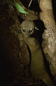 Kinkajou (Potos flavus) leaving tree nest hole at night, Amazonia, Brazil - Nick Gordon
