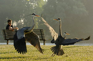 Onlooker observing Grey herons (Ardea cinerea) fighting. Regents Park, London, UK - Laurent Geslin