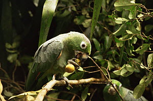 Mealy amazon parrots (Amazona farinosa) eating fruits of (Sapotaceae chrysophyllum) tree in canopy, Amazonia, Brazil  -  Nick Gordon