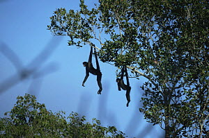 Two Red faced spider monkeys (Ateles paniscus chamek) hanging by prehensile tails to catch early warming sun rays, Amazonia, Brazil - Nick Gordon